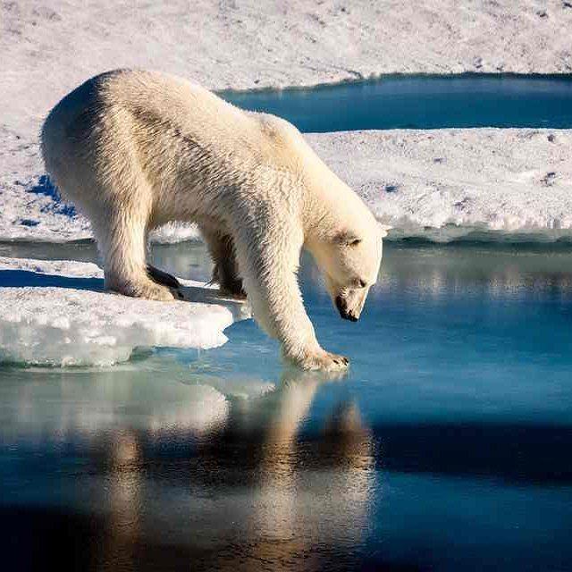 b63e0082d2b91bc94cfeb017f67383d0--bear-habitat-ice-melt